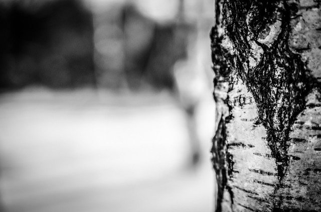 xylitol brezový cukor v kôre brezy